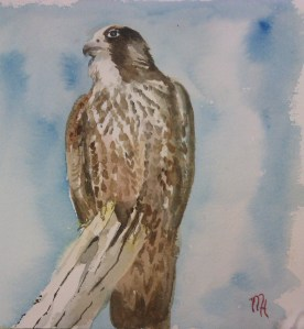 Watercolour  hawk